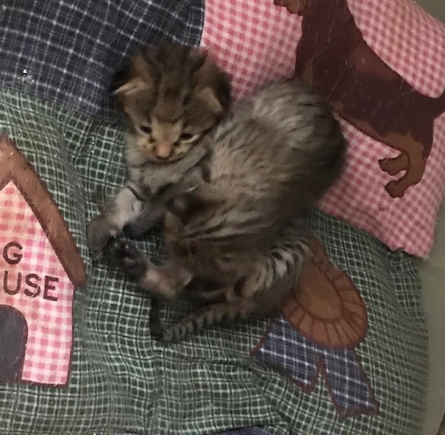 Savannah Kittens for Reservation