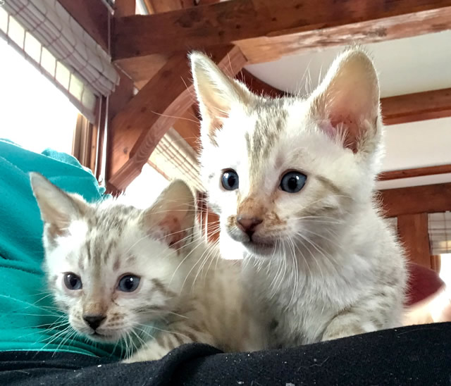 Blue Eyed Snow Bengal Boys For Sale